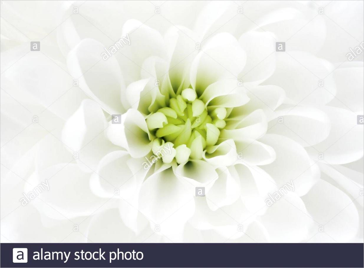 macro of white chrysanthemum flower template for bridal or baptism invitation card romantic delicate flower petals image ml