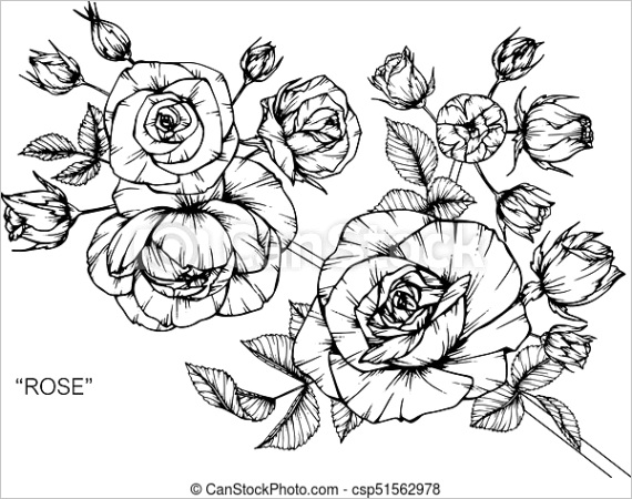 roses flower drawing and sketch with ml