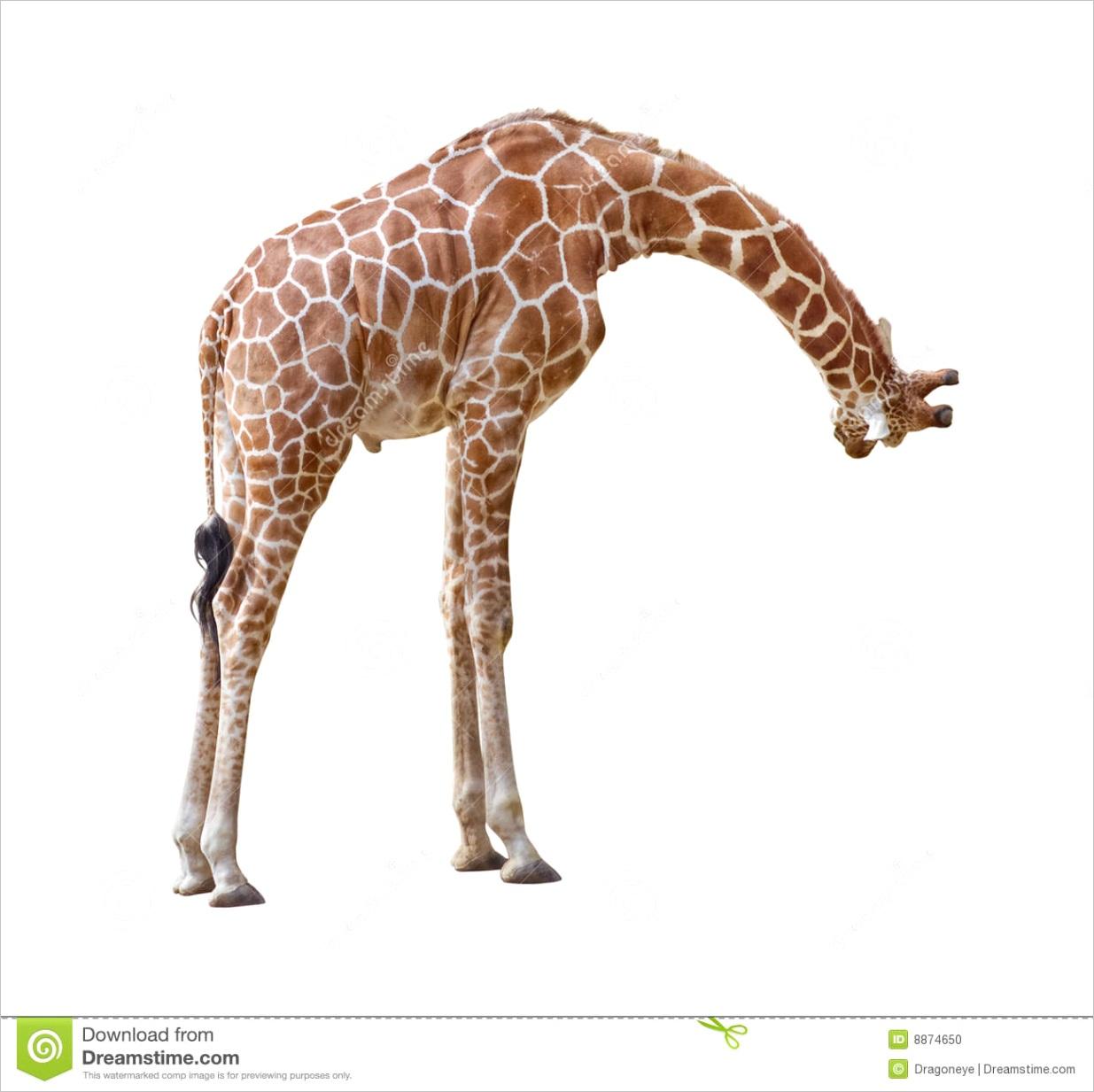 stock photo giraffe curiosity cutout image