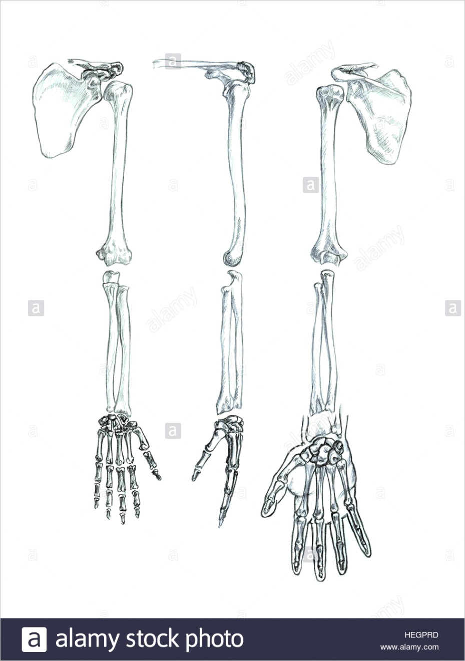 stock photo bones of the upper extremity hand drawn medical illustration drawing ml