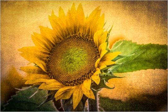 sunflower kansas kansas state flower