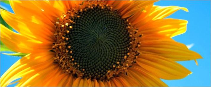 kansas state flower the sunflower