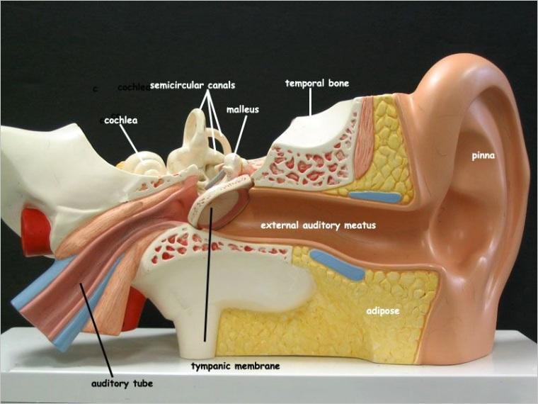 human ear diagram model