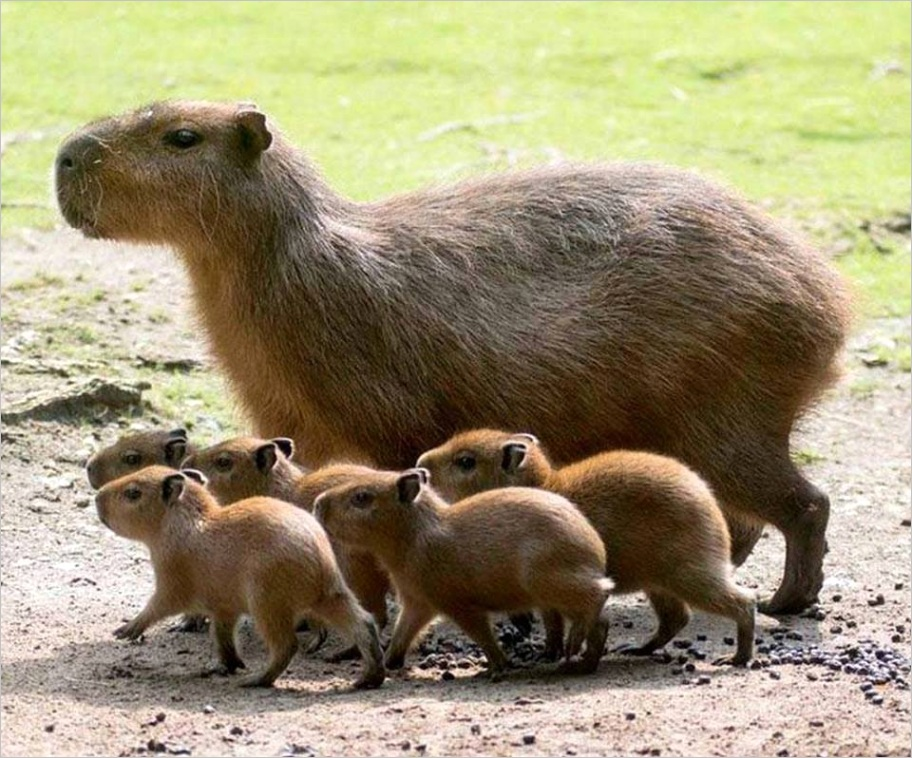 baby giant guinea pigs mommy