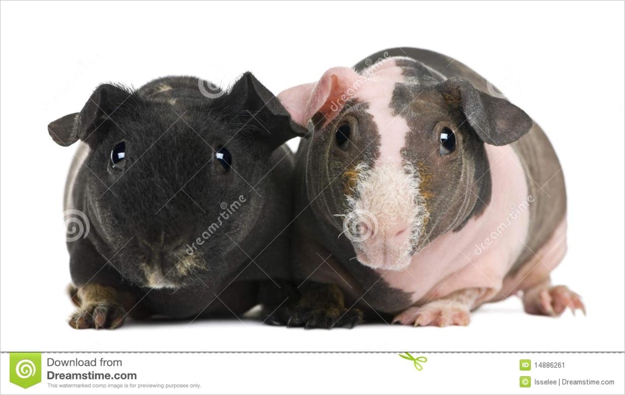 stock image hairless guinea pig standing image