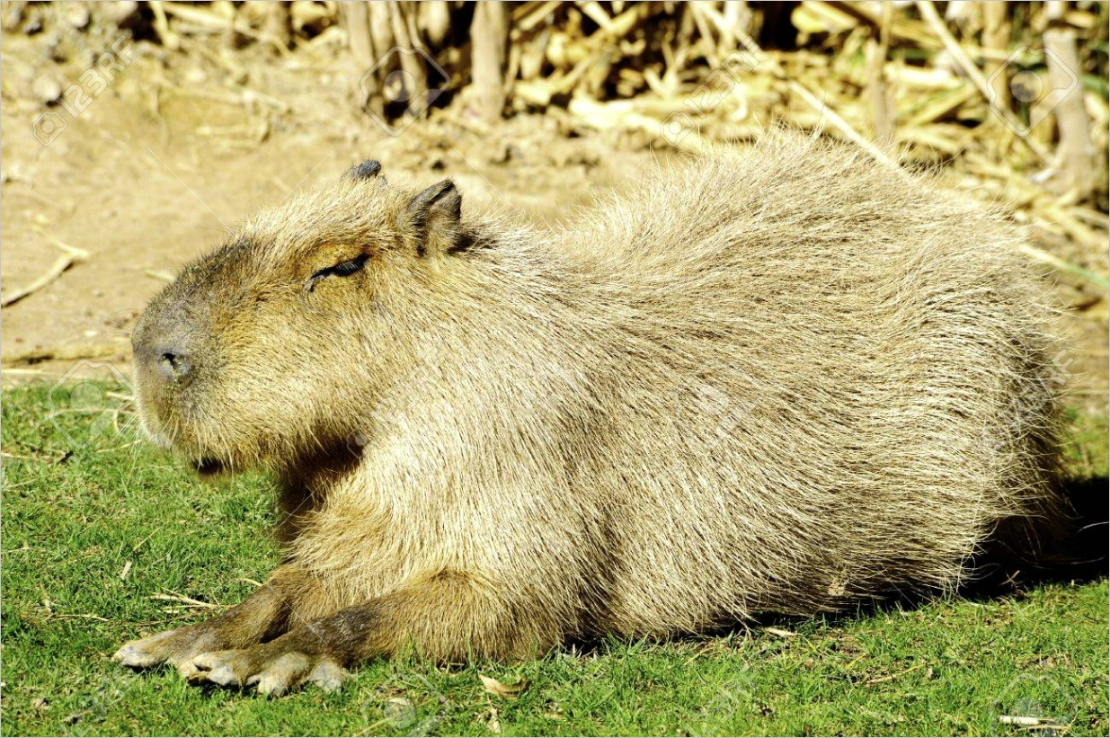 photo a south american capybara or giant guinea pig resting